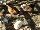 Nos poulettes et nos lapins